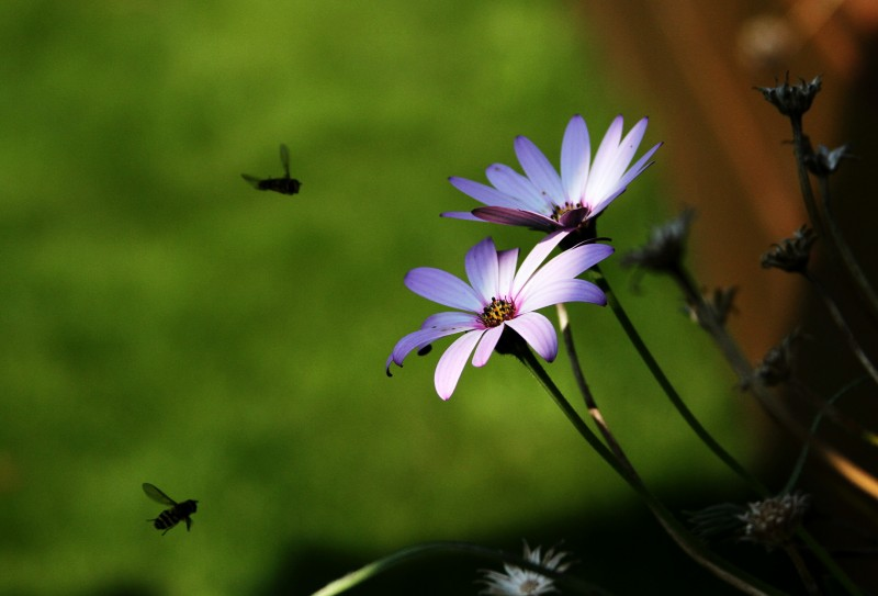 Two bees in shade fly towards two sunlit flowers