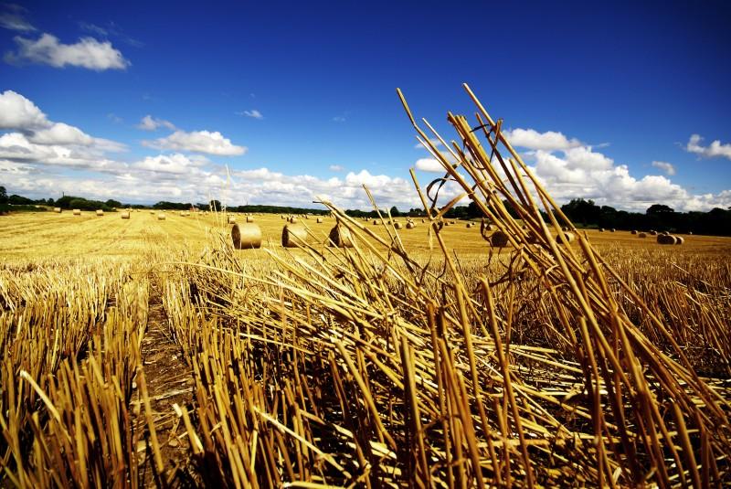Cut corn in a field with a blue sky