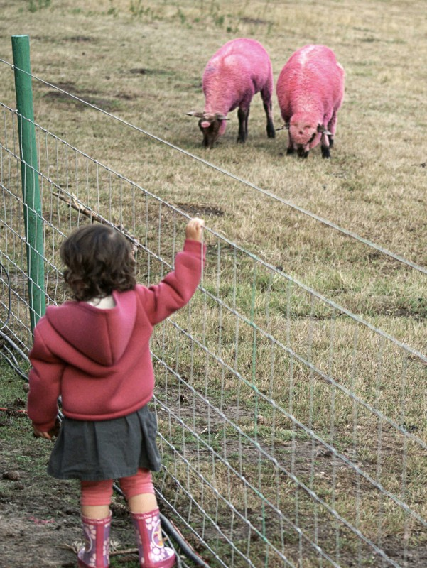 Toddler looks at two pink sheep behind a fence at Latitude festival