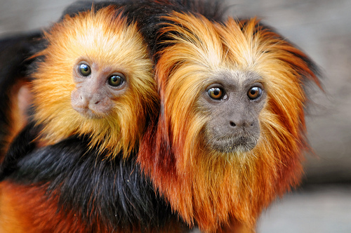 Baby Tamarin and adult Tamarin