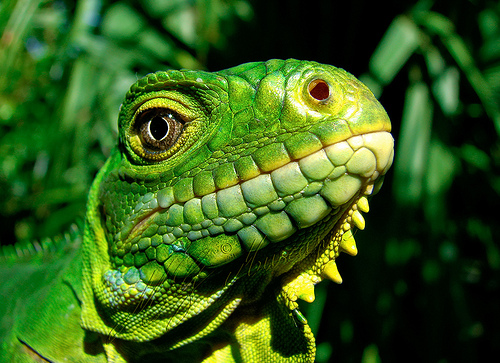 A green Chameleon's head