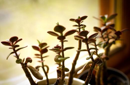 Money plant on a window sill