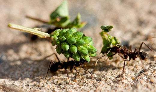 An ant carries a burden of fruit while another ant looks on